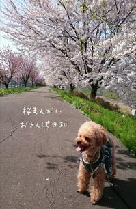 桜満開♪ - 34m (miho mama)