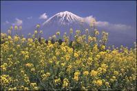 菜の花が満開です - 富士山大好き~写真は最高!