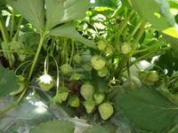 我が家にできたいちご畑~驚異的繁殖力~ - ようこそ、町田カルバリー 家の教会のブログへ!