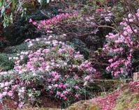 昭和の森「石楠花フェスタ」今日から(4月28日~5月6日 ) - 白壁荘だより  天城百話