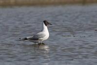 ユリカモメ(夏羽) - 私の鳥撮り散歩
