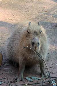 温泉に入らないカピバラたちと、そわそわメンフクロウ(埼玉県こども動物自然公園) - 続々・動物園ありマス。