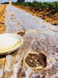 エダマメの種まき - 週末農夫コーディーのイケてる鍬の振るい方