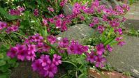 庭いっぱいのオキザリス - ニット美津江・ダイアリー