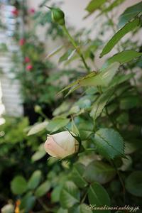 新緑とバラの庭 - 毎日がばら色