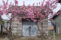 八重桜?満開。 - とうほく小屋の写真帖