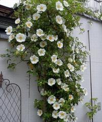 路傍の花、樹々の鳥(209)~バラの季節始まる~ - 大屋地爵士のJAZZYな生活