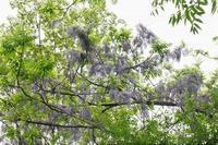 ■ 藤と桐の花   18.4.28 - 舞岡公園の自然2