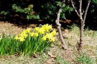 水仙と牧野富太郎「花は、率直に言えば生殖器である」 - 照片画廊