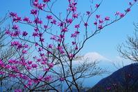 富士とミツバツツジ - 自然と仲良くなれたらいいな2