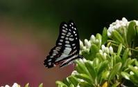 2018初夏その3 - 紀州里山の蝶たち