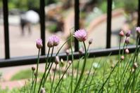 いろいろな料理に使える万能薬味 - 神戸布引ハーブ園 ハーブガイド ハーブ花ごよみ