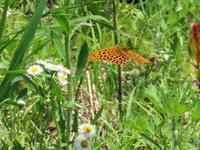 4月のクモガタヒョウモン - 秩父の蝶