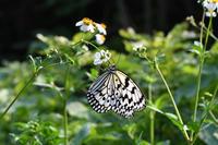 春の波照間島(2018/4/14) - Sky Palace -butterfly garden- II