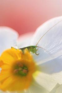 スイセンの花の中で - 川の流れのカンツカブログ