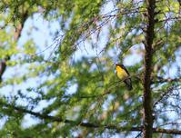 晩春のキビタキ - 鳥見って・・・大人のポケモン