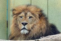 強いメスライオン - 動物園放浪記