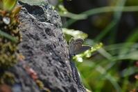 クロツバメシジミ 4月29日 - 超蝶