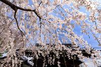 桜咲く京都2018上品蓮台寺のしだれ桜 - 花景色-K.W.C. PhotoBlog