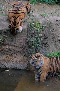 悔しいファントム - 動物園に嵌り中