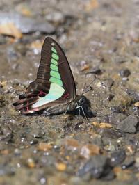 アオスジアゲハやカラスアゲハの吸水ほか - 蝶超天国