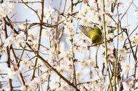 梅とメジロ〜その2 - うちのまわりの自然新聞