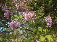 リラの花咲く - 冬青窯八ヶ岳便り