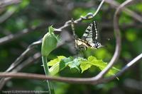 キアゲハ第1化の産卵(4月下旬) - 探蝶逍遥記