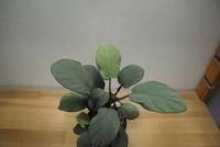 "Homalomena sp. '銀鮫' ""Aceh Sumatera"" - PlantsCade -2nd effort"