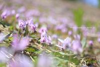 カタクリ満開~日影ゲレンデ~ - 野沢温泉とその周辺いろいろ