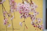 実家の桜 - 暮らしを紡ぐ