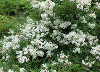 ロサ・ムルティフローラ(ノイバラ) - hebdo時季(とき)の花