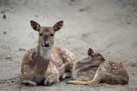 元気な子鹿 - 動物園放浪記