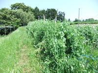 """豆の大収穫祭..... - 〔家庭菜園日記〕 """"すろーらいふ"""" 茅ケ崎のはまちゃん. 野菜つくり"""