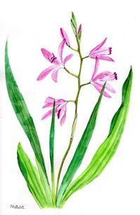 庭の紫蘭 - がちゃぴん秀子の日記