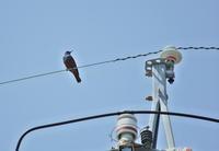 電線の鳥 - 蓮華寺池の隣5