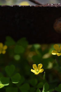 アスファルトに咲く2 - (=^・^=)の部屋 写真館
