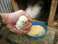 烏骨鶏のヒナが生まれました!温めはじめて21日目の予定日に全員孵化しました! - FLCパートナーズストア