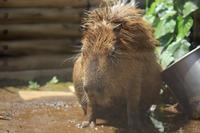 ファンキーなカピバラさんを見つけました - 動物園のど!
