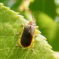 #甲虫 『斑髭毛深金花虫』 Pyrrhalta annulicornis - 自然感察 *nature feeling*