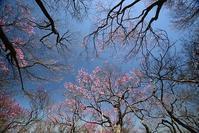 アケボノツツジの咲く山  明神岳~千石山 - 峰さんの山あるき