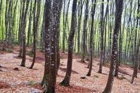 雨の美人林 - 松之山の四季2