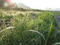 朝 パクチー - 南阿蘇 手づくり農園 菜の風