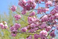 今年も咲かそう - aya's photo