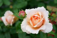 庭の薔薇 〔2018/4/30〕 - 春&ナナと庭の薔薇