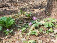 4月も最終日、残雪あり、カタクリの花が満開! - 十勝・中札内村「森の中の日記」~café&宿カンタベリー~