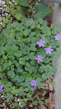 ベルフラワー開花 - うちの庭の備忘録 green's garden