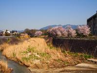 堤防の桜・2 - Photo*Today & Then