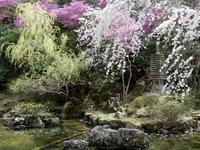 桜の精 ―「西行桜」(spectre cerisier de Noh) - ももさへづり*やまと編*cent chants d'une chouette (Yamato*Japon)