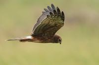 Pied Harrier - 残しておきたい一枚・・・